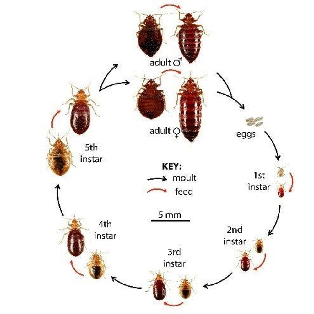 what do bedbugs look like