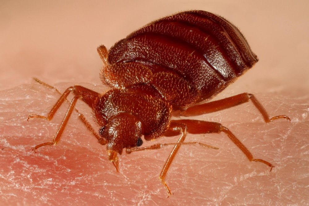 A Simple Bed Bug Inspection Guide