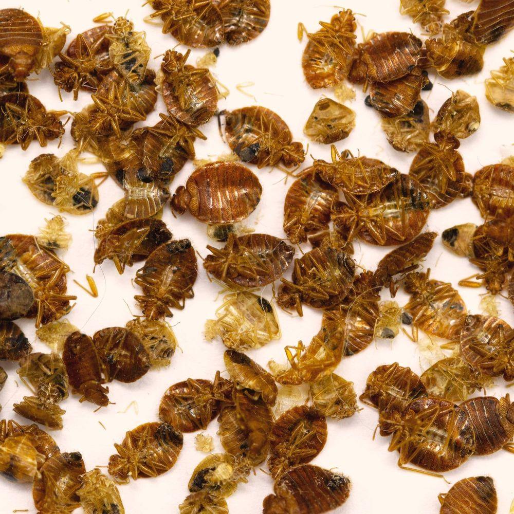 Dead bed bugs