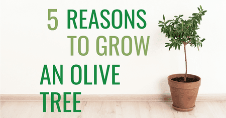 5 Reasons to Grow an Olive Tree-Four Winds Growing
