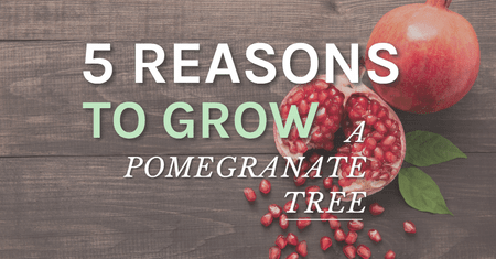 5 Reasons To Grow A Pomegranate Tree-Four Winds Growing