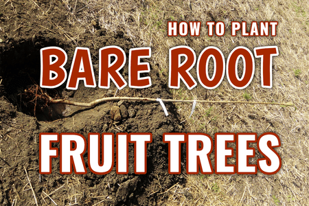 How to Plant Bare Root Fruit Trees!-Four Winds Growing