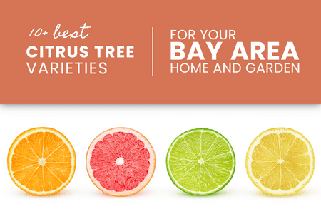 Best Citrus Varieties for the Bay Area-Four Winds Growing