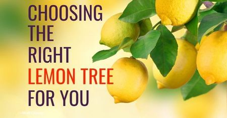 Choosing the Right Lemon Tree-Four Winds Growing