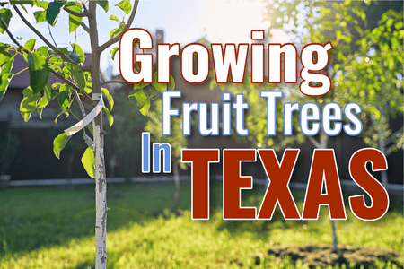 What Fruit Trees Can I Grow In Texas?-Four Winds Growing