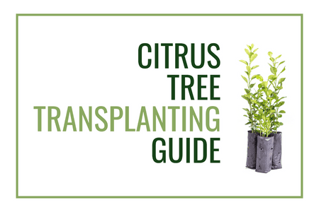 Citrus Tree Transplanting Guide!-Four Winds Growing