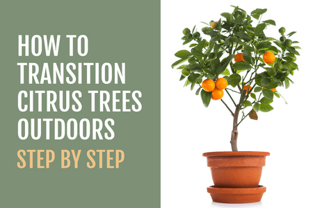 How to Transition Citrus Trees Outdoors in the Spring-Four Winds Growing