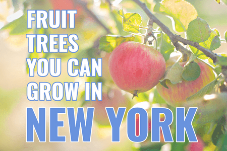 What fruit trees can I grow in New York?-Four Winds Growing