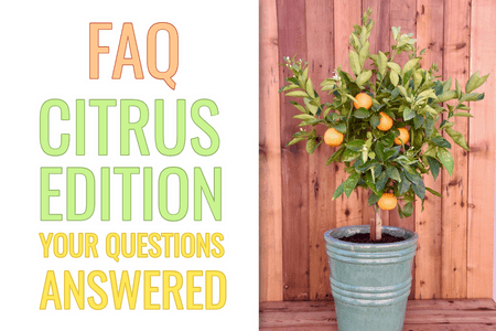 FAQ's: Citrus Tree Edition-Four Winds Growing