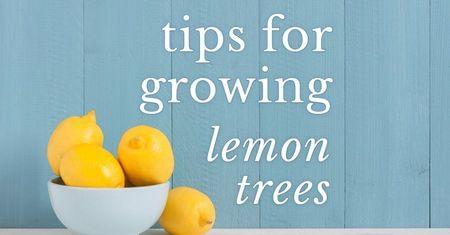 Growing a Lemon Tree-Four Winds Growing
