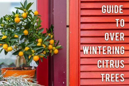 Overwintering your Citrus Trees-Four Winds Growing