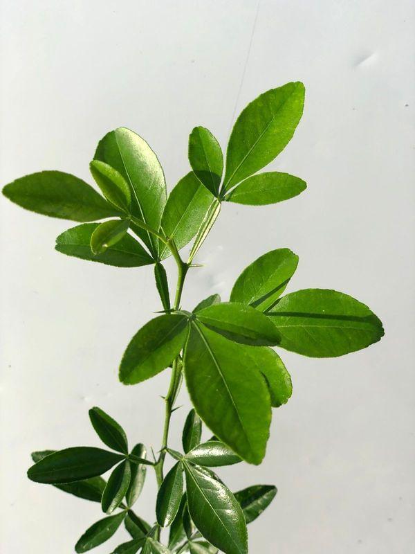 Citrus Macrophylla Rootstock