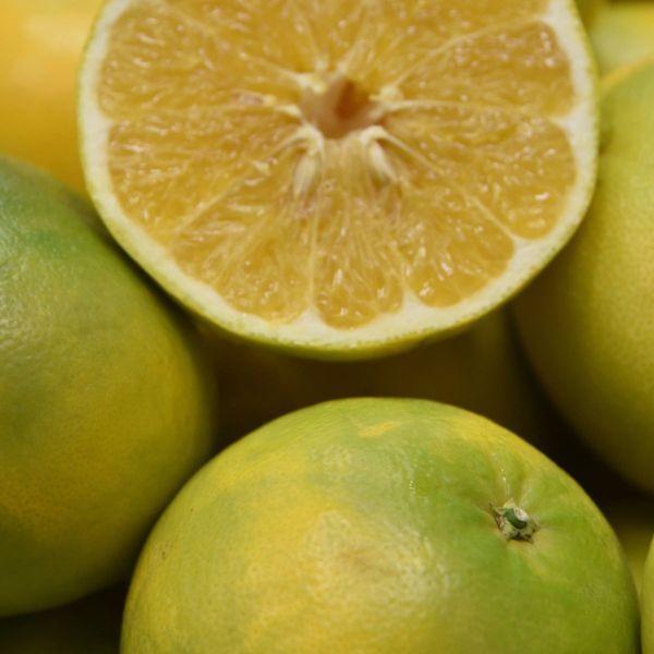 Cocktail Semi-Dwarf Grapefruit Tree