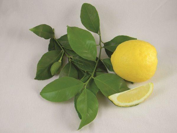 Santa Teresa Feminello Semi-Dwarf Lemon Tree