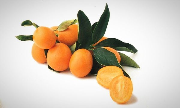 Meiwa Semi-Dwarf Kumquat Tree