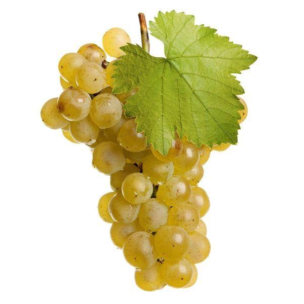 Chardonnay Wine Grape Vine