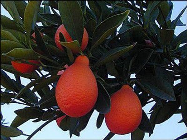 Indio Mandarinquat Semi-Dwarf Kumquat Tree