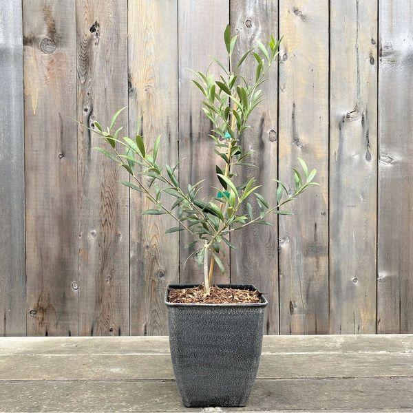 Decorative Mission Olive Tree