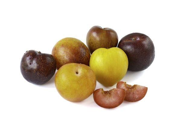 Pluot- Multi Budded Fruit Tree