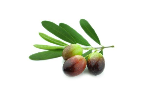 Nocellara Olive Tree