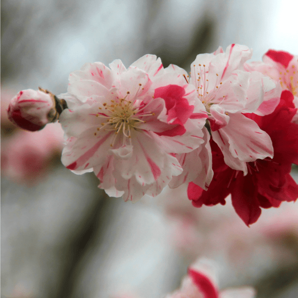 Peppermint Flowering Peach
