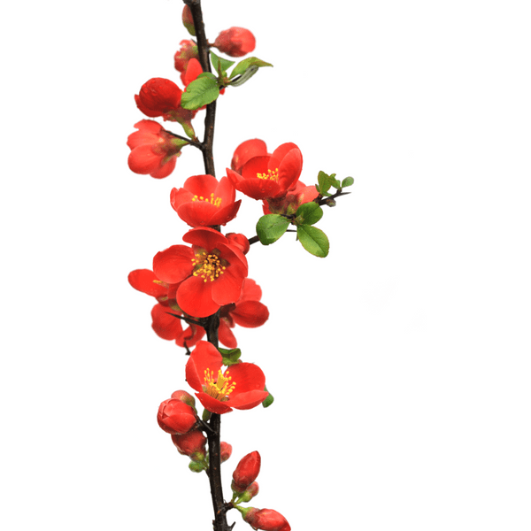 Quince Chaenomeles 'Texas Scarlet'