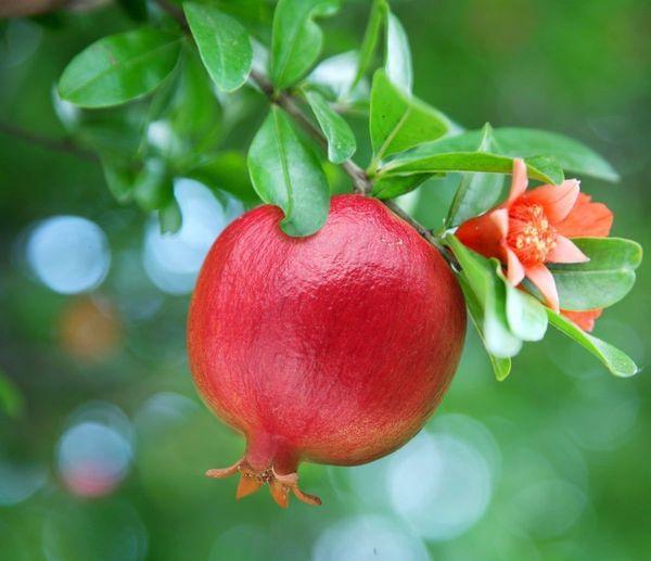 A.C. Sweet Pomegranate Tree