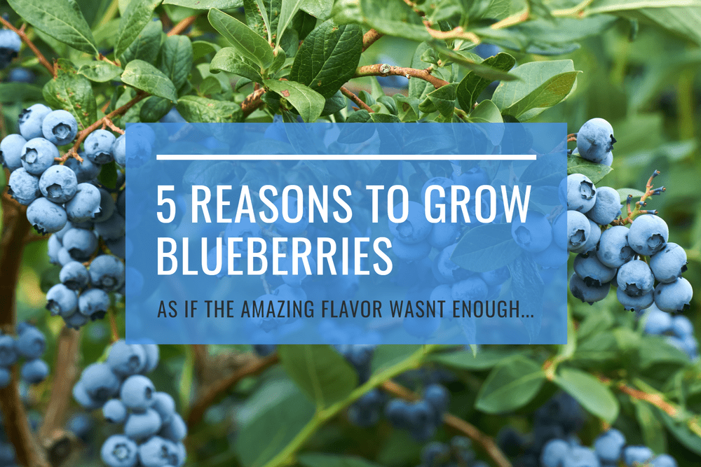 5 Reasons to Grow Blueberries! Featured