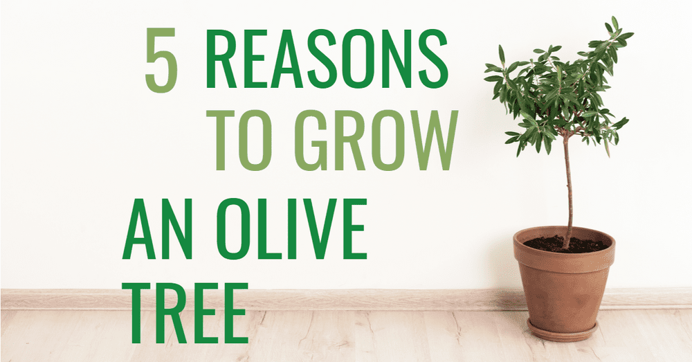 5 Reasons to Grow an Olive Tree Featured
