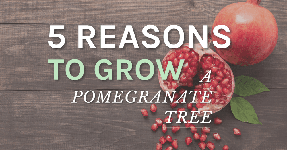 5 Reasons To Grow A Pomegranate Tree Featured