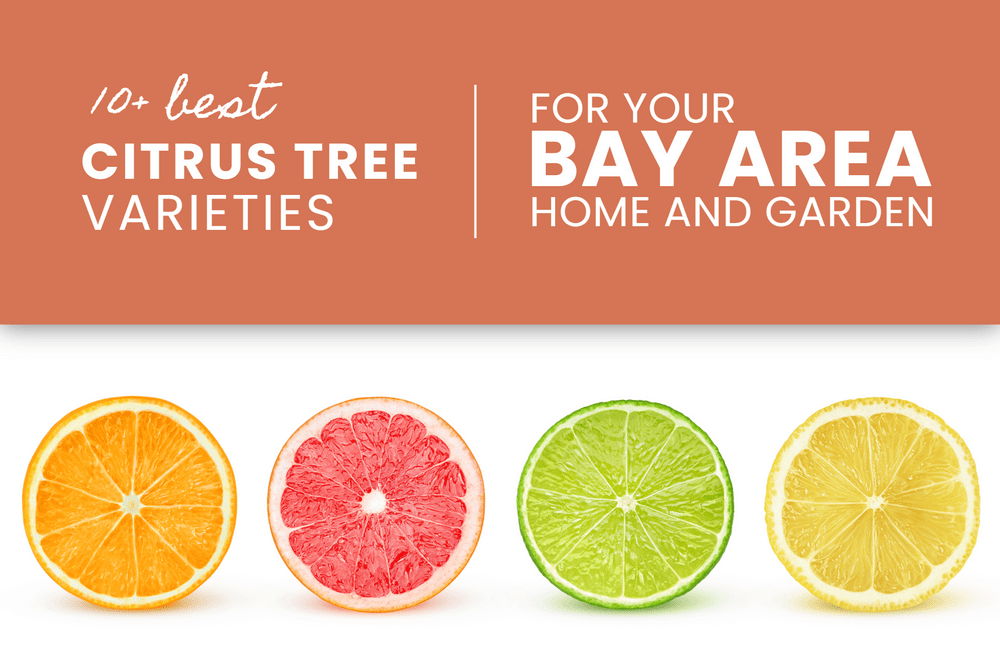 Best Citrus Varieties for the Bay Area! Featured
