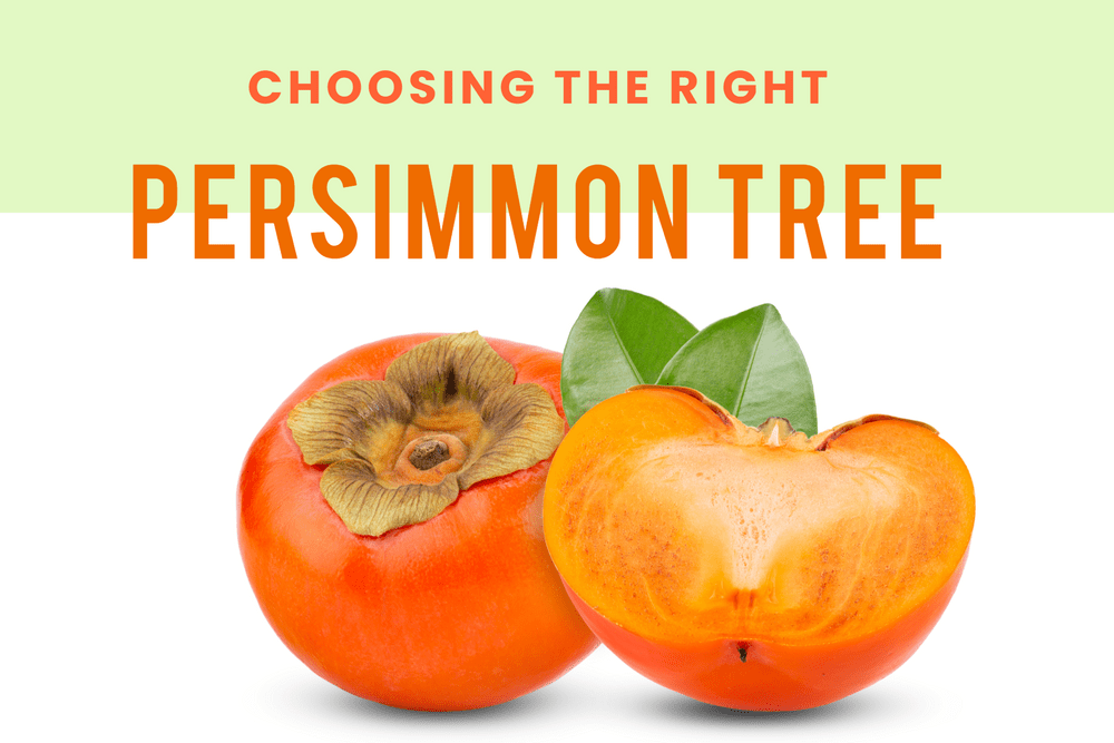 Choosing The Right Persimmon Tree! Featured