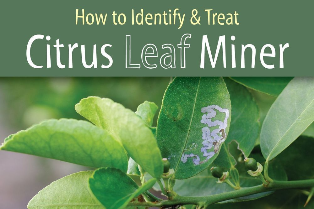 How to Identify & Treat Citrus Leaf Miner Featured