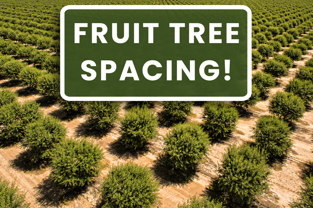 Fruit Tree Spacing! Featured