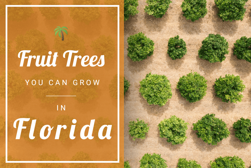 What Fruit Trees Can I grow In Florida? Featured