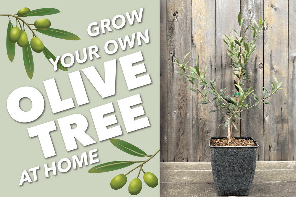 Growing Olive Trees at Home Featured
