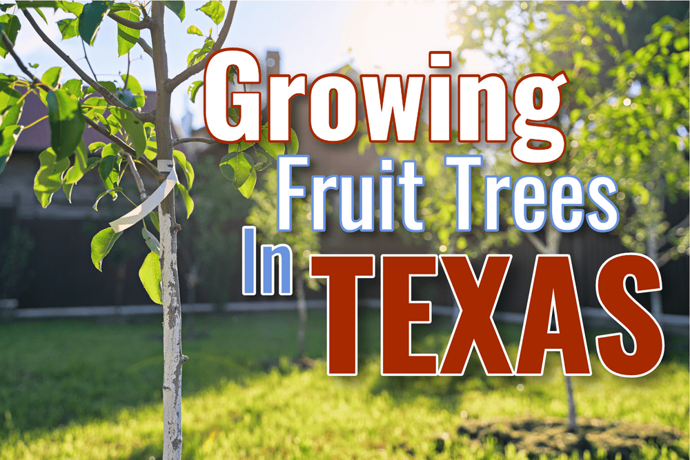 What Fruit Trees Can I Grow In Texas? Featured
