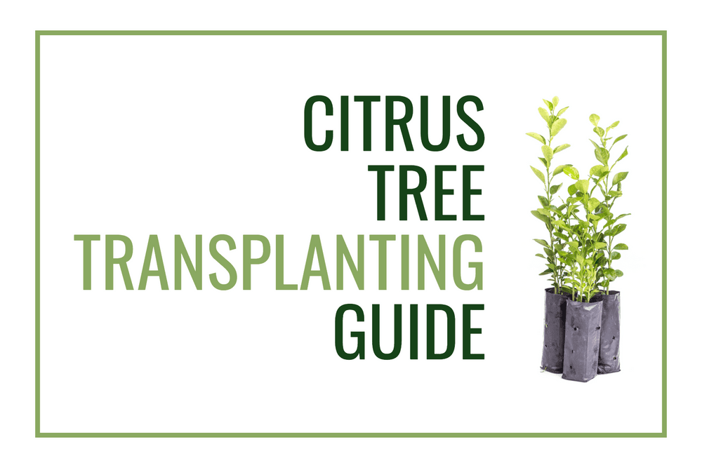 Citrus Tree Transplanting Guide Featured