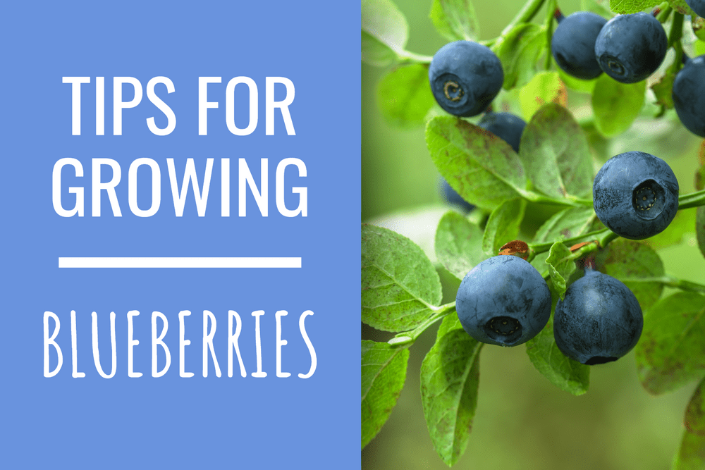 Growing Blueberries! Featured