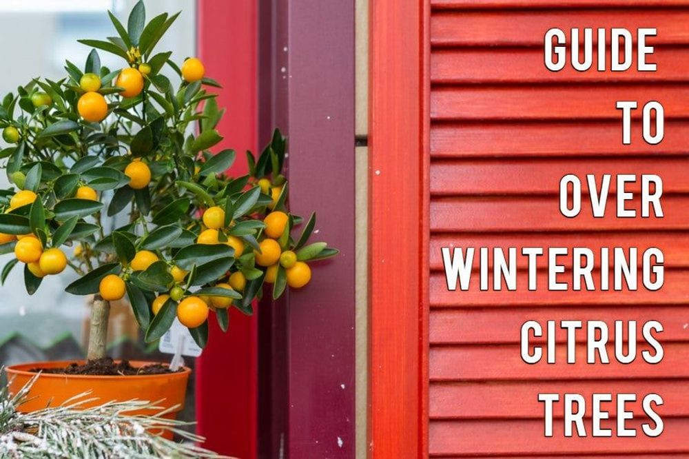 Overwintering your Citrus Trees Featured