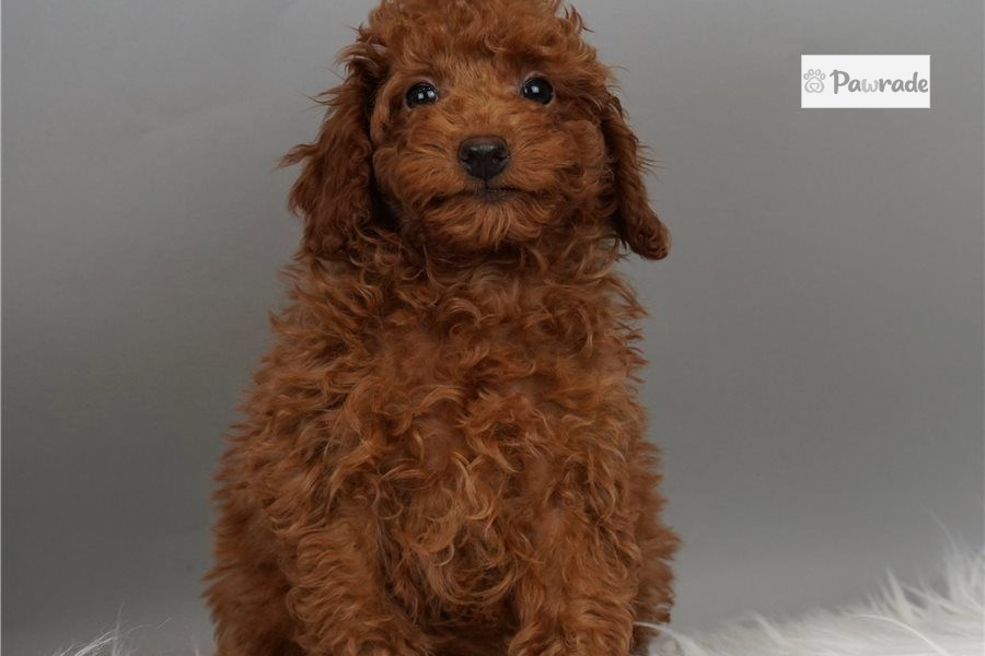 Spark - Poodle, Miniature Puppy 4CBA0C | Pawrade